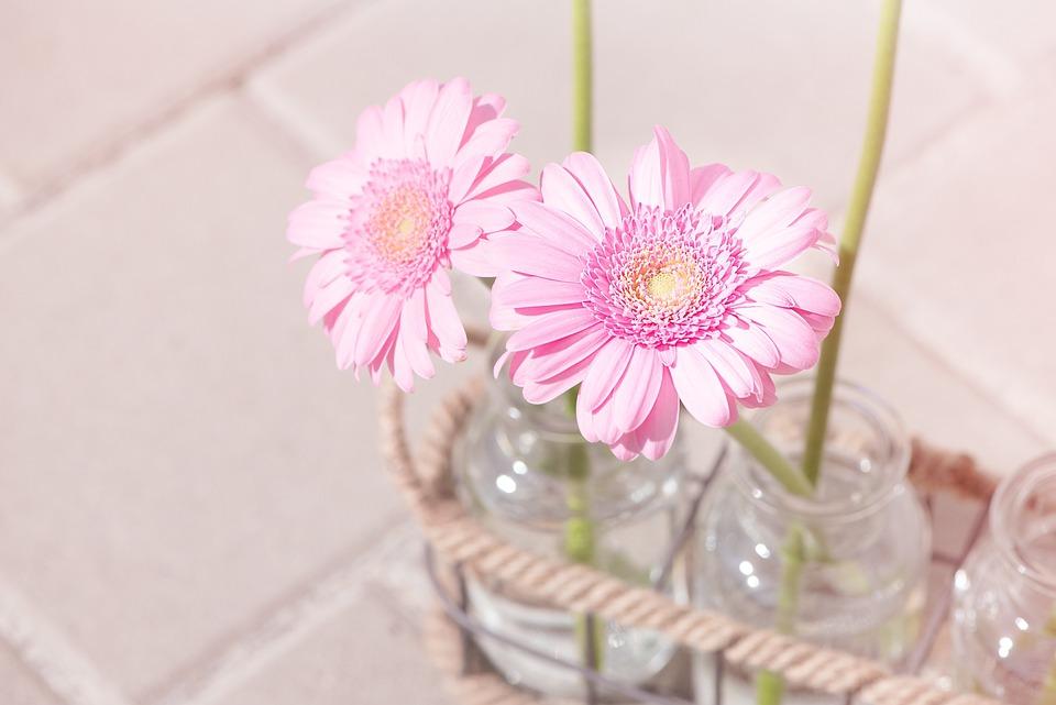 Daisies, Pink, Pink Daisies, Flowers, Pink Flowers, Two