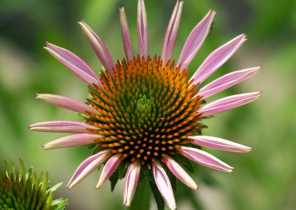 Daisy, Flower, Summer, Petal, Pink, Nature, Floral