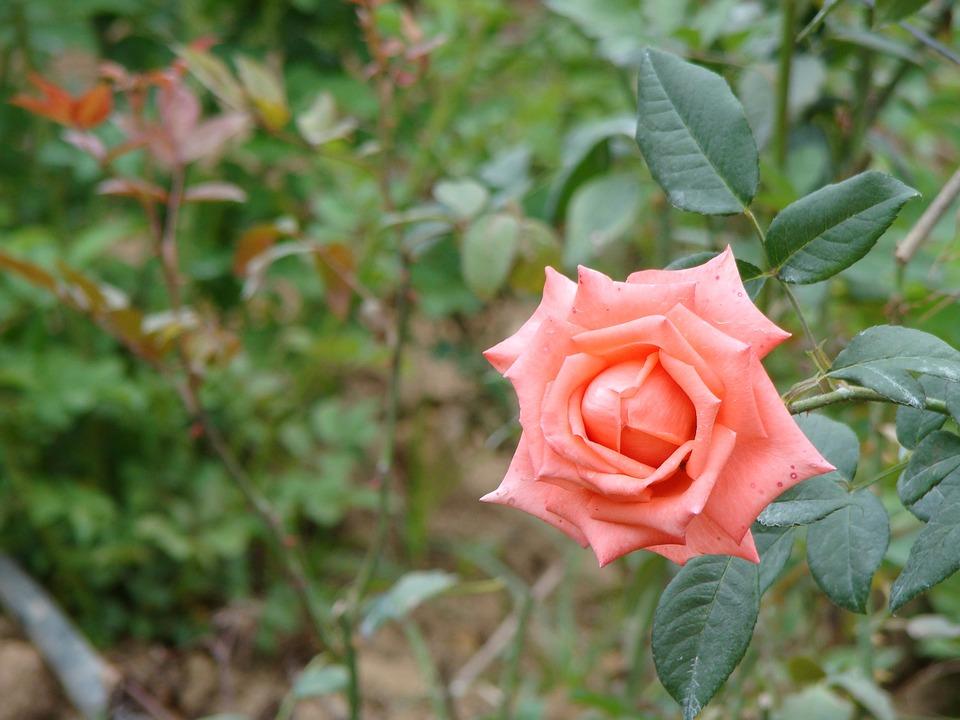 Rosa, Pink, Field