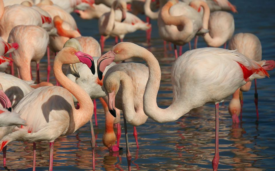 Pink Flamingo, Bird, Fauna, Animal, Nature, Camargue