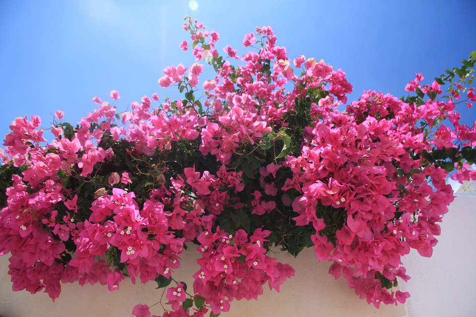Flowers, Bougainvillea, Pink, Blossom, Flora