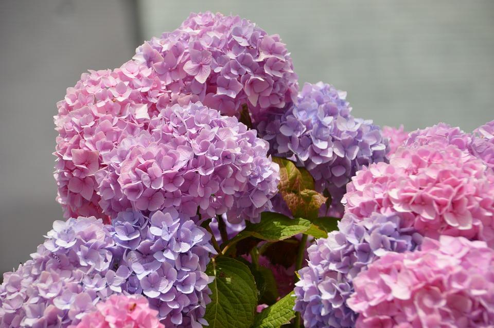 Hydrangea, Purple, Pink, Flower, Flora, Border Floral