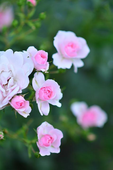 Rose, Flowers, Blossom, Bloom, Floral, Pink, Romantic
