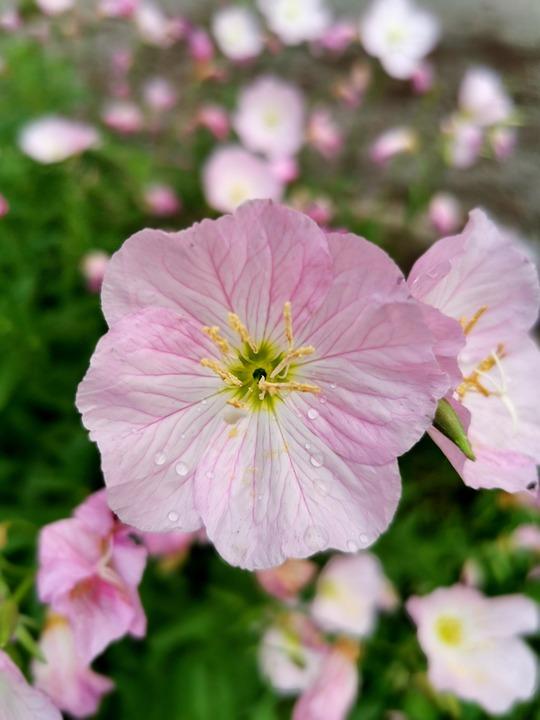 Pink Flower, Bloom, Petunia