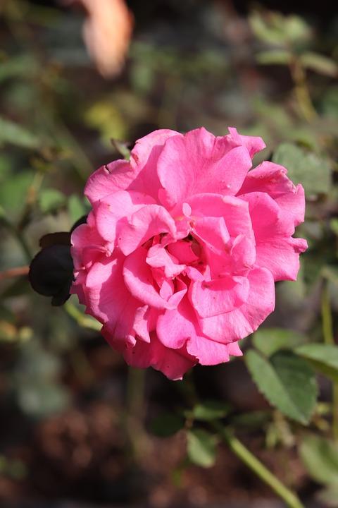 Camellia, Flower, Plant, Pink Flower, Petals, Bloom