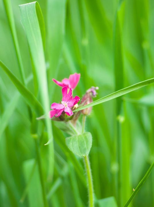 Green, Pink, Grass, Flower, Blossom, Bloom, Nature