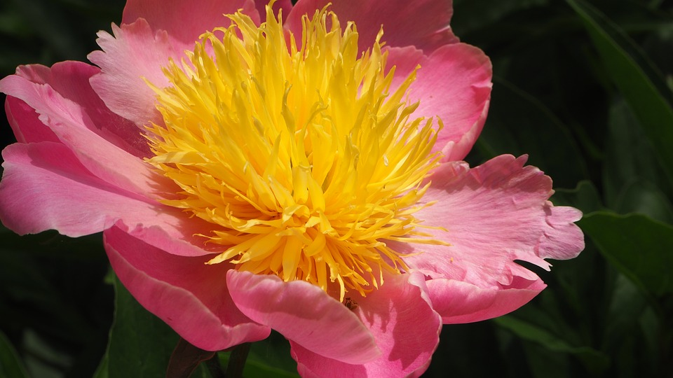 Pink, Yellow, Flower, Pink Flower, Blossom, Bright