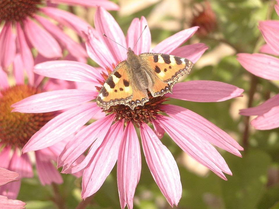 Flower, Butterfly, Pink, Closeup, Pink Flower, Ornament