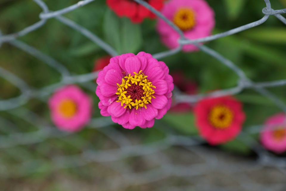 Zinnia, Flower, Composites, Pink, Blossom, Bloom
