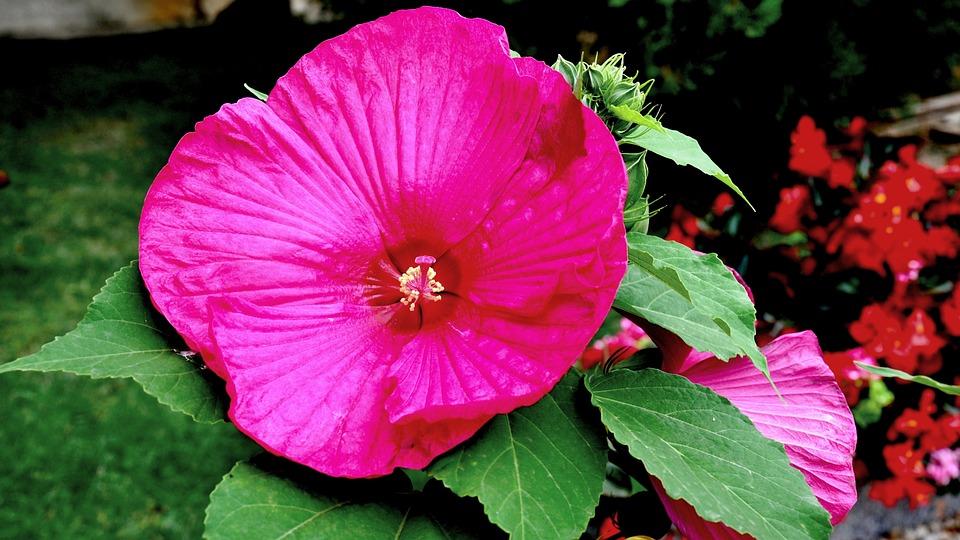 Hibiscus, Flower Garden, Pink