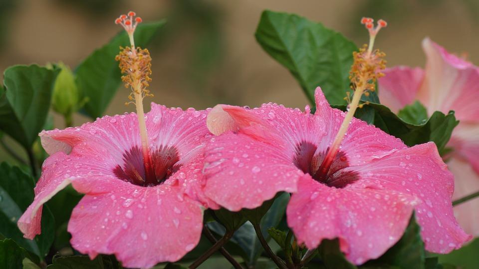 Hibiscus, Flower, Tor, Tropical, Plant, Pink, Garden