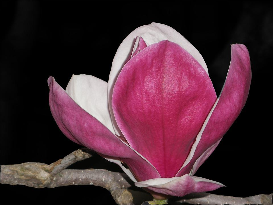 Magnolia, Flower, Branch, Pink, Nature, Macro, Light