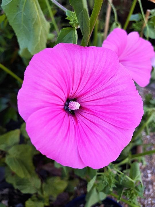 Pink, Flower, Mallow, Spring, Romantic, Garden, Blossom