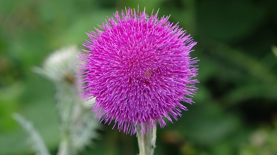 Pink Flower, Wildflower, Nature, Meadow
