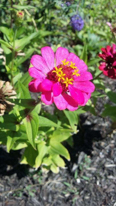 Pink, Flower, Nature, Garden