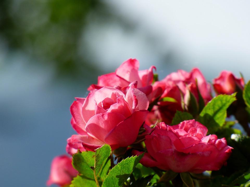Hollyhock, Rose, Flower, Nature, Pink Flower, Garden
