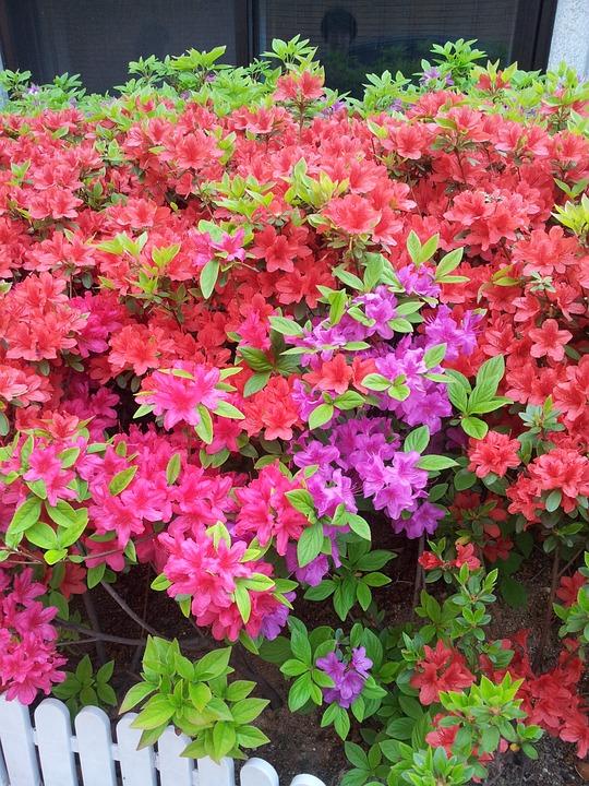Azalea, Flowers, Spring, Nature, Pink Flower