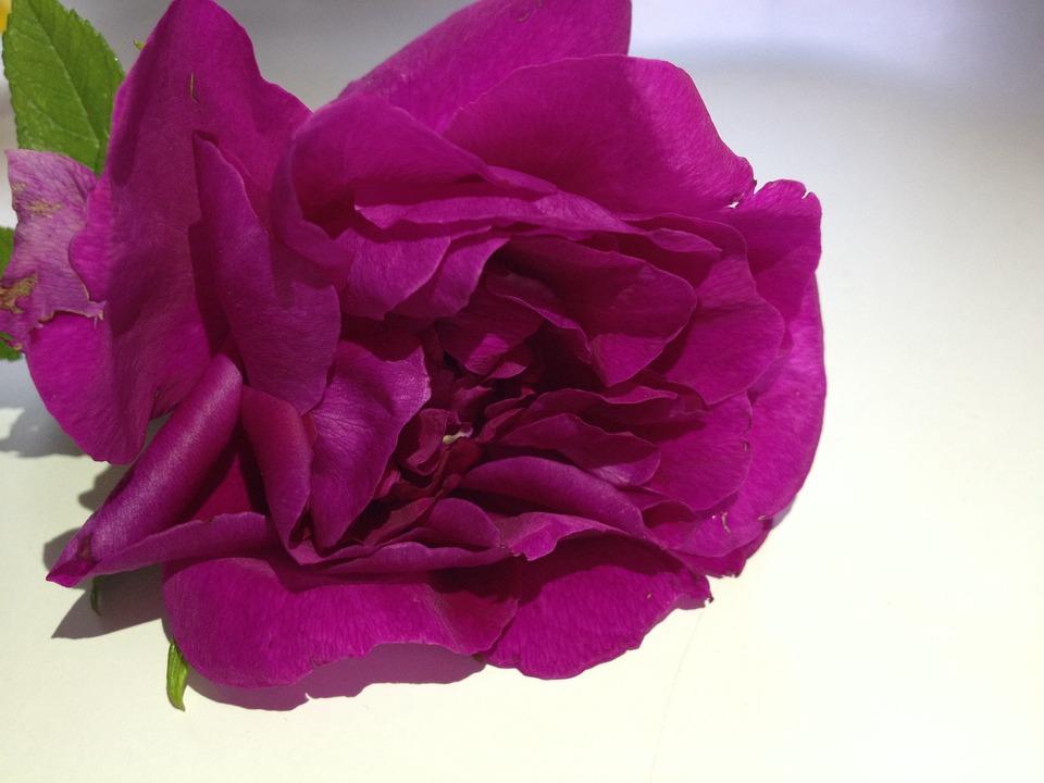 Flower, Pink, Rose, Pink Flower, Ornamental Plants