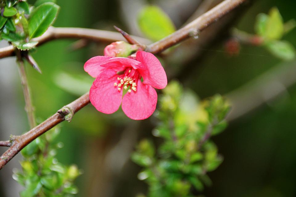 Pink Flower, Nature, Outdoor, Tree