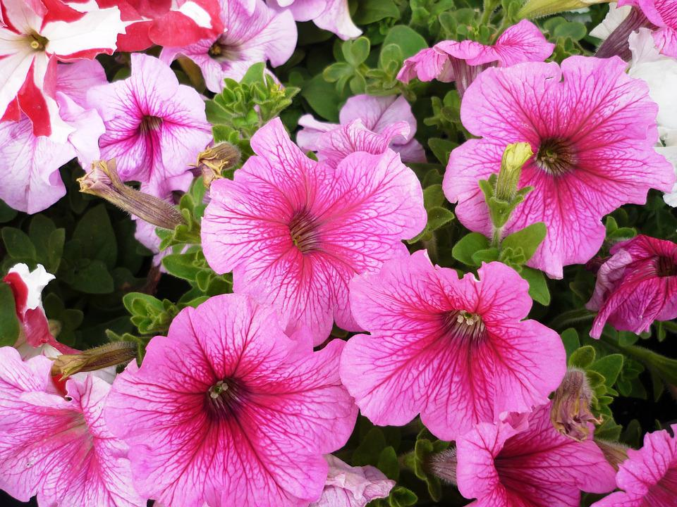 Petunias, Pink, Flower