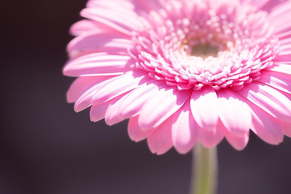 Marguerite, Pink, Pink Daisy, Flower, Blossom, Bloom
