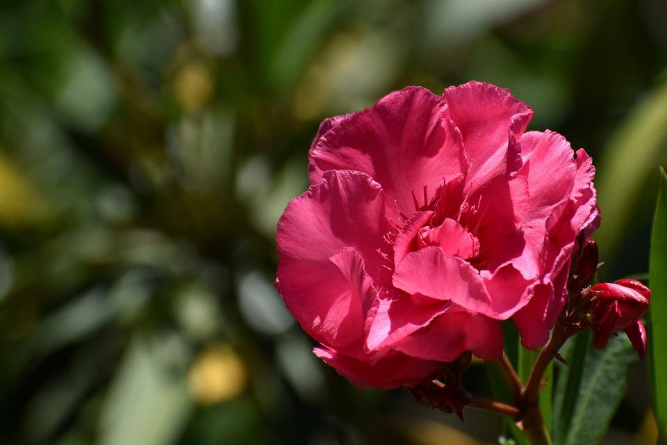Flower, Nerium, Oleander, Pink Flower, Pink Petals