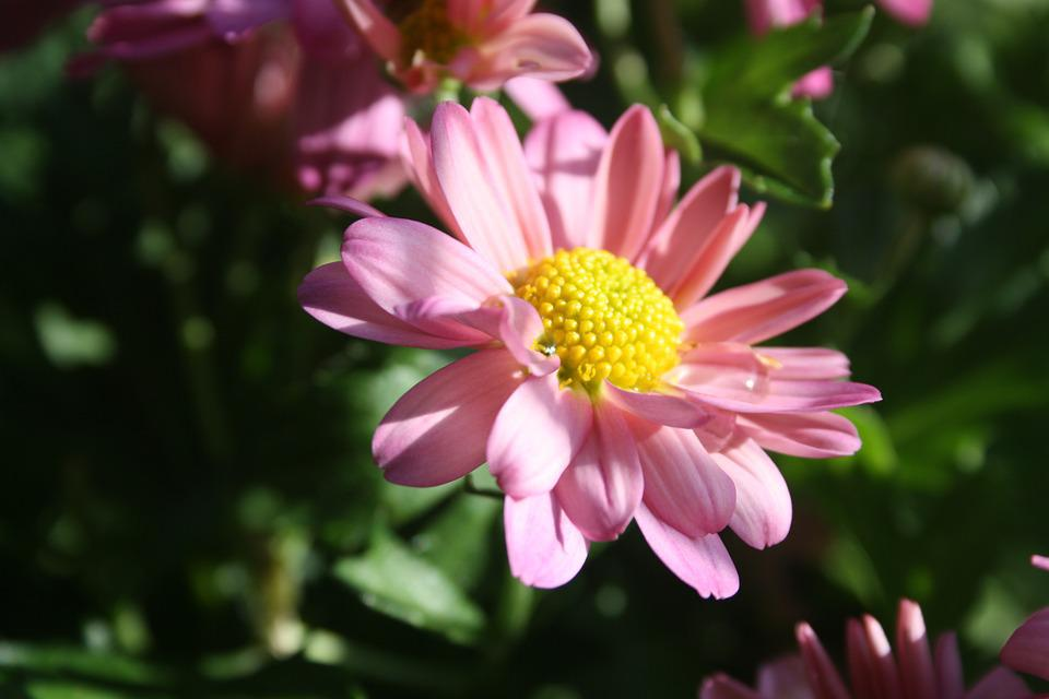 Autumn Flower, Flower, Pink, Nature, Plant