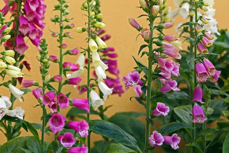 Thimble, Garden, Flower, Plant, Nature, Pink, Blossom