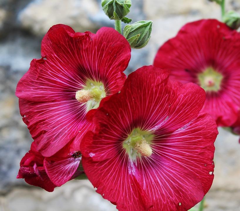 Hollyhock, Passerose, Pink, Rod, Flower