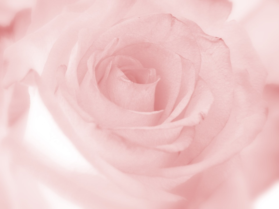 Pink, Rose, Flower, Romantic, Floral, Rosoideae