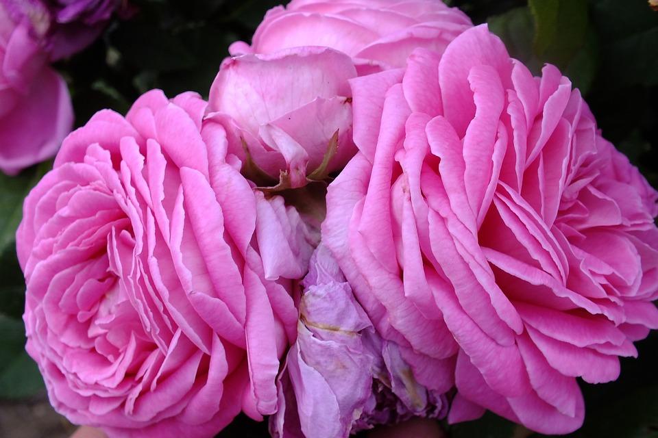 Rose, Flower, Pink