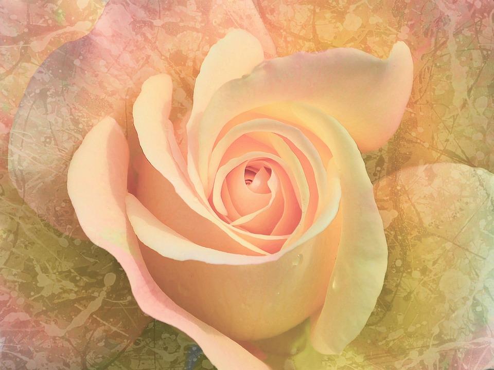 Flower, Rose, Pink, Background, Texture, Floral