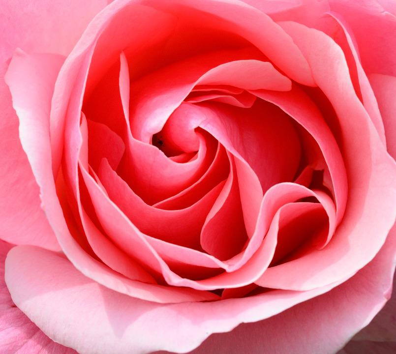Rose, Pink, Petals, Flower, Rose Bloom, Close Up, Macro
