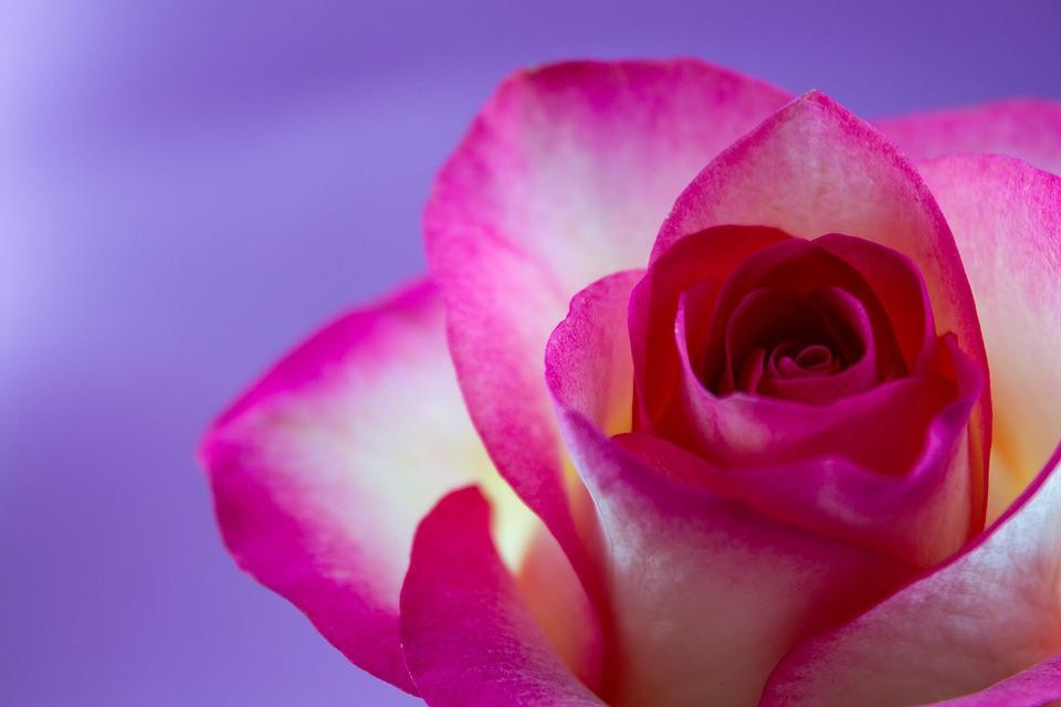 Rose, Flower, Floral, Flowers, Love, White, Pink