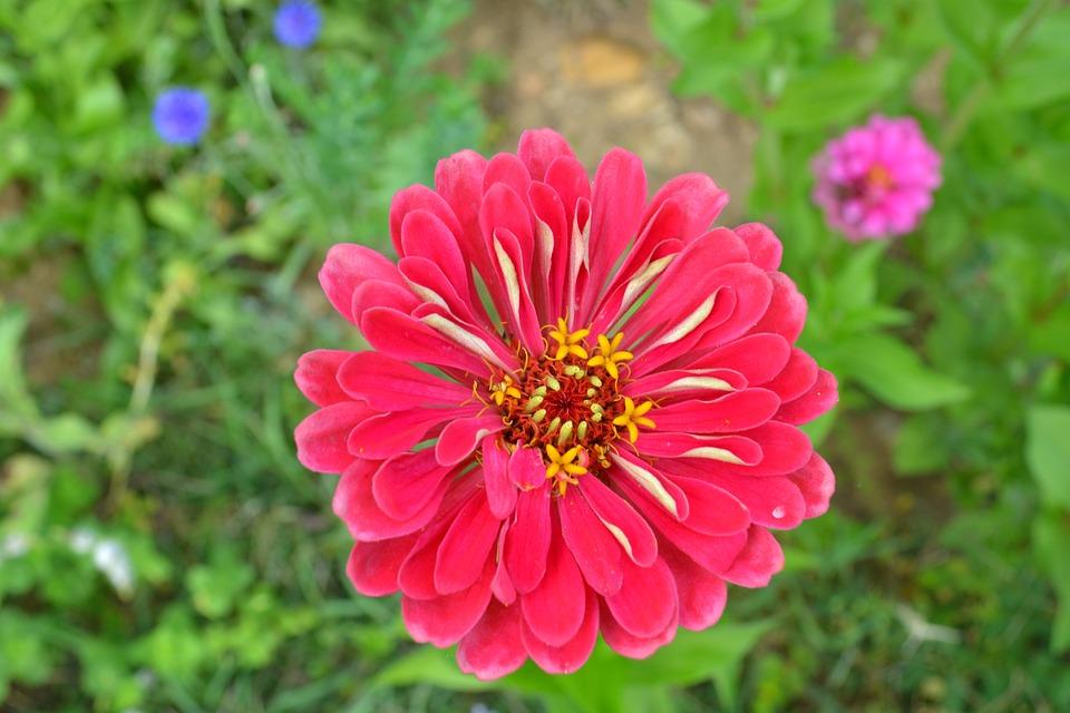 Zinnia, Flower, Pink Flower, Rose Petals, Petals