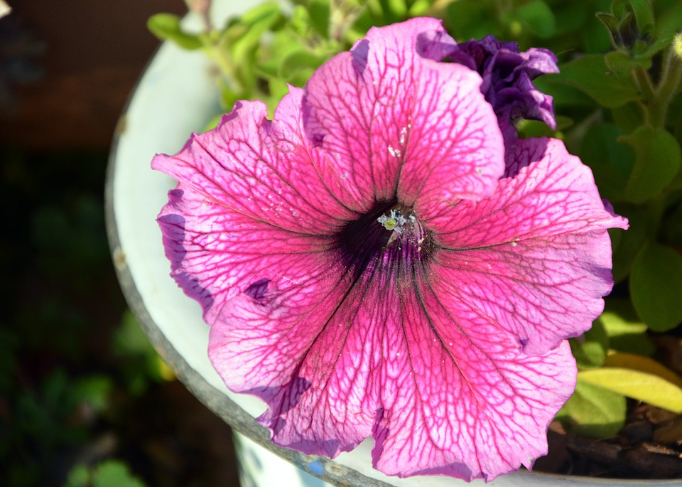 Petunia, Pink Flower, Petals, Spring
