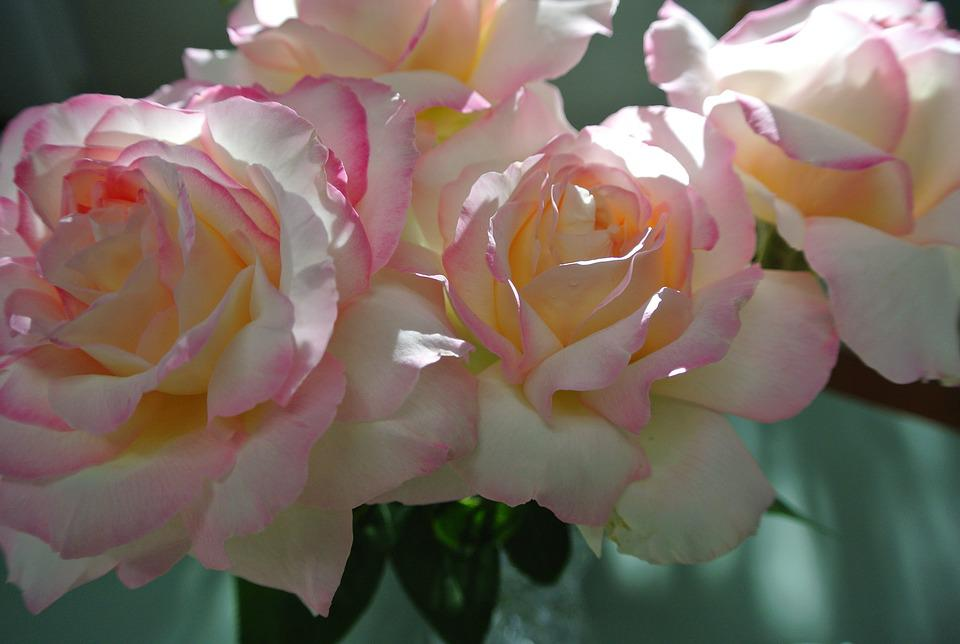 Roses, Peace, Pink Flower, Yellow Flower, White Flower