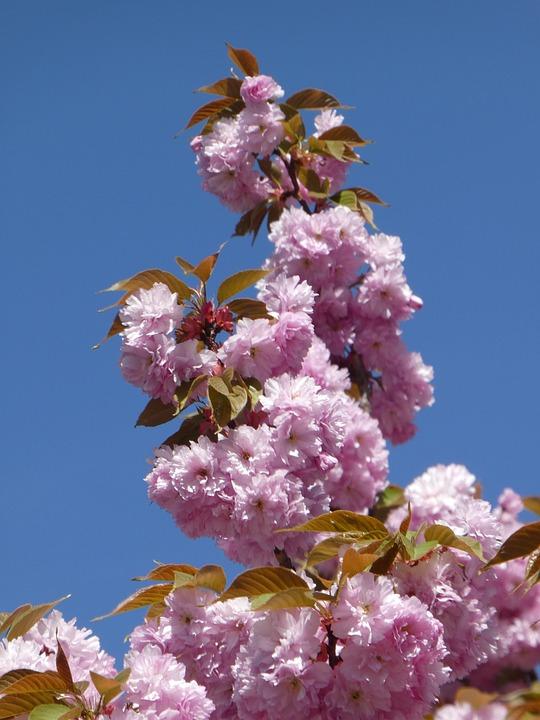 Spring, Pink Flowers, Tree, Blossom, Bloom, Branch