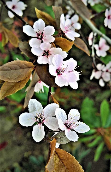 Blossom, Ornamental Cherry, Spring, Pink Flowers
