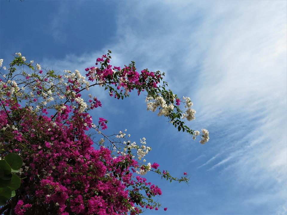 Bogondia, Flowers Sky, Pink Flowers