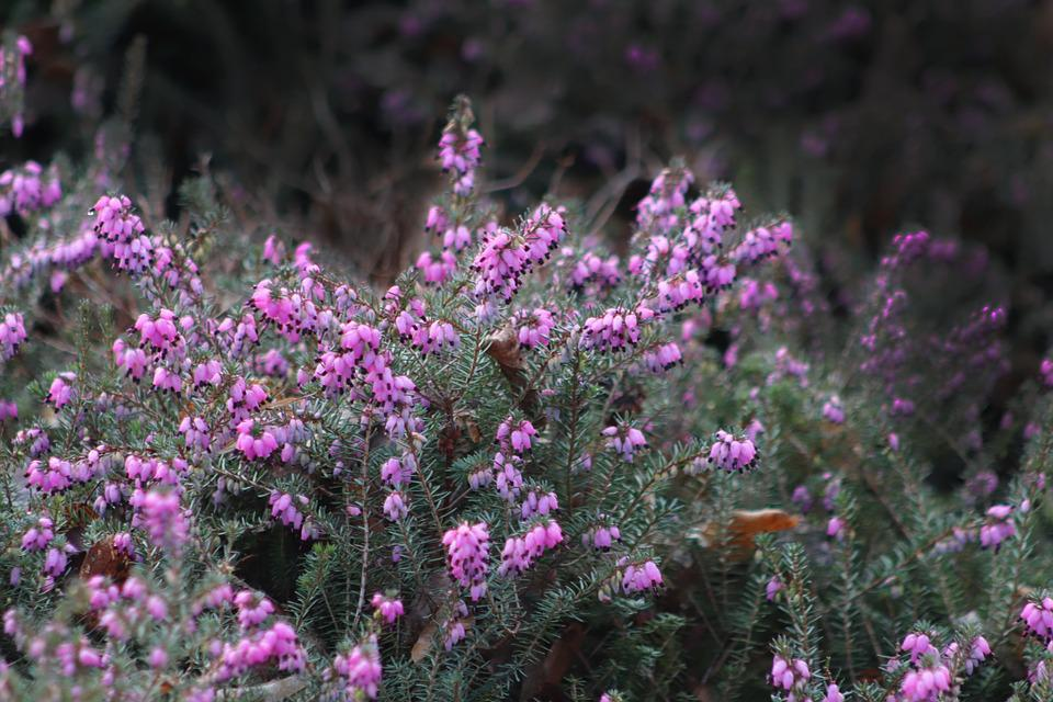 Winter Heath, Snow Heath, Heide, Pink, Flowers, Bush