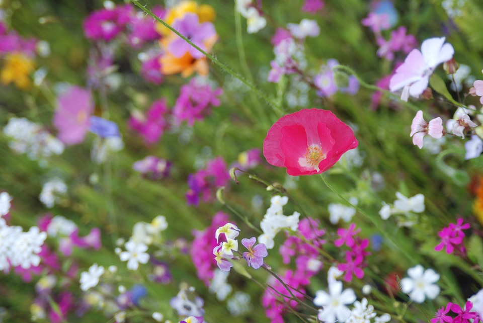 Colorful, Flowers, Flower Meadow, Summer, Pink, Plant