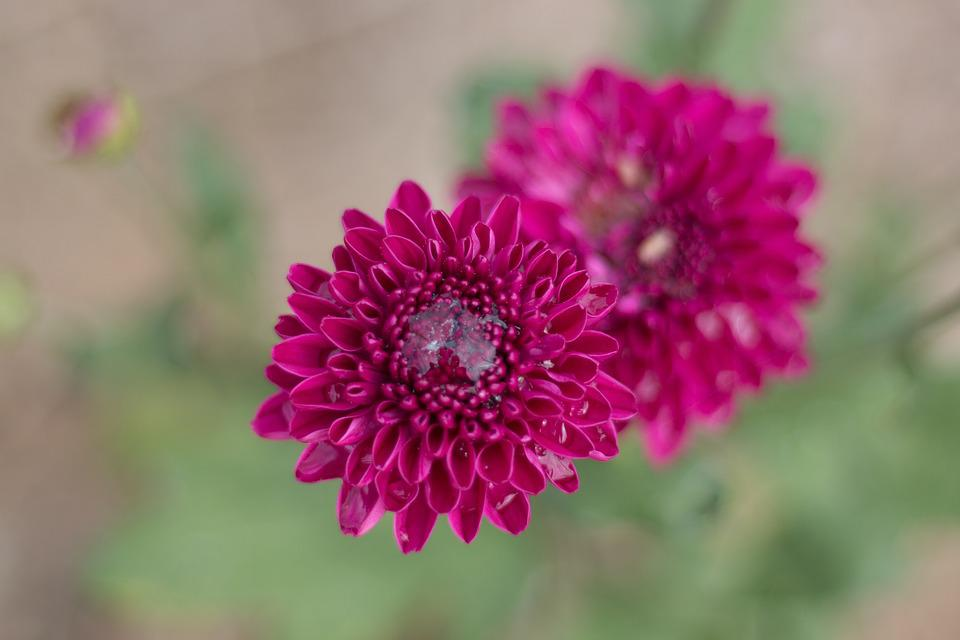 Chrysanthemum, Flowers, Flowers, Pink, Daisy