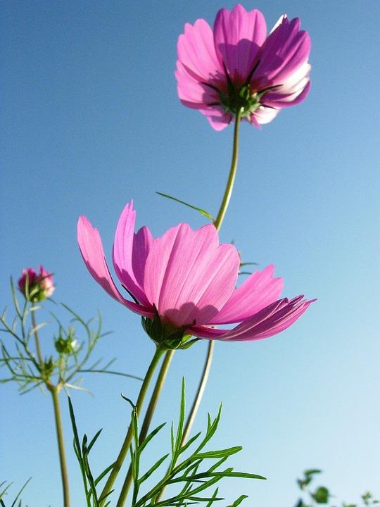 Flower, Flowers, Pink, Cosmos Flowers