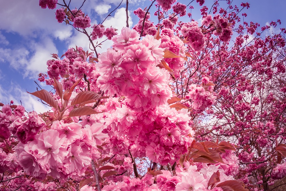 Photo Pink Flowers Flower Tree Anese Cherry Trees Max