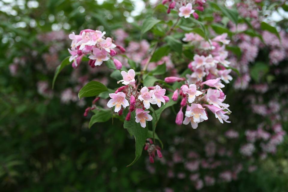 Bush, Flowers, Pink, Flowering Shrub, Nature, Shrubs