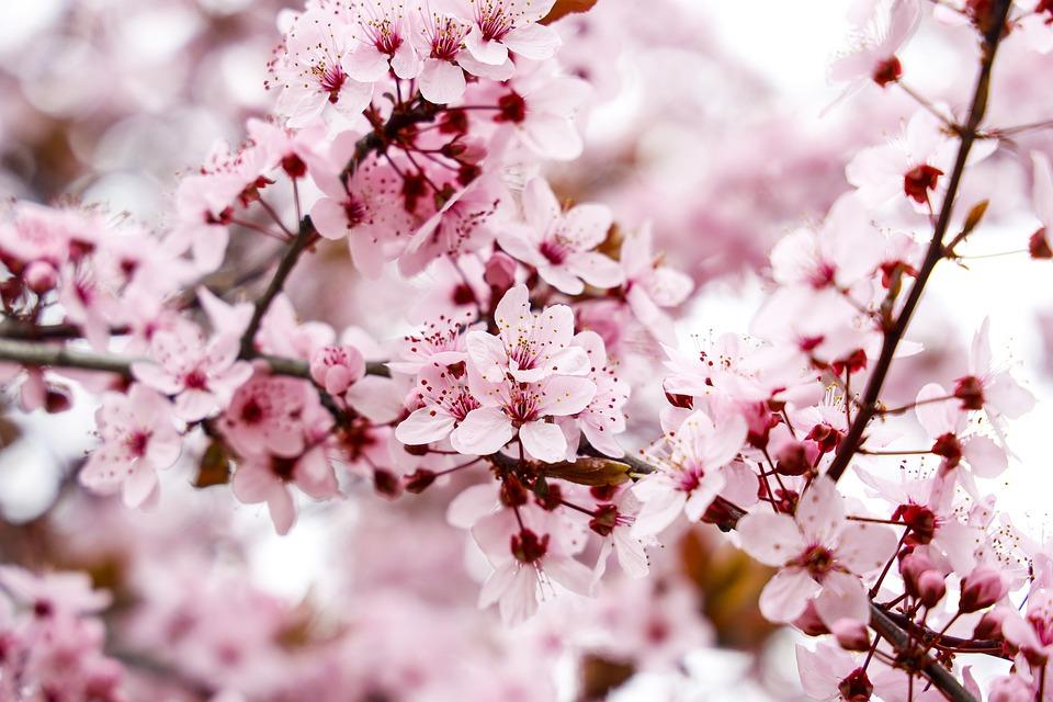 Almond Tree, Flowers, Spring, Pink Flowers
