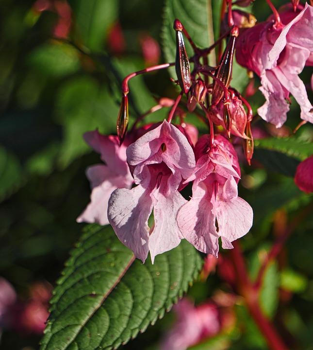 Himalayan Balsam, Flowers, Pink Flowers, Petals