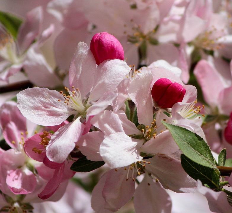 Japanese Cherry Blossoms, Pink Flowers, Flowering Tree