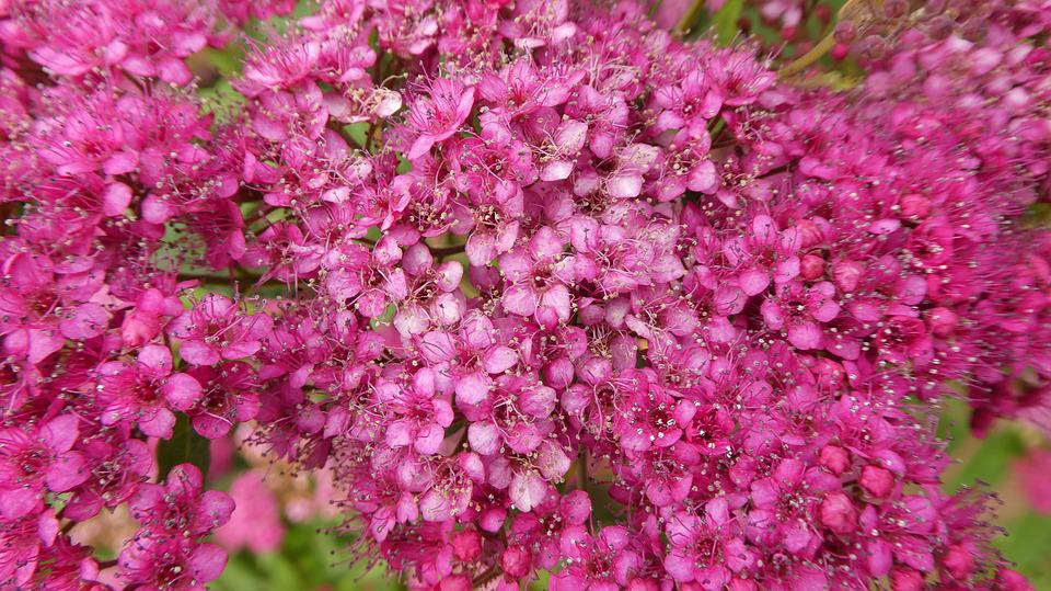 Free photo pink flowers ornament bush spring tender max pixel pink flowers bush spring tender ornament mightylinksfo